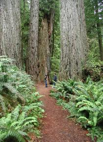 One of many Trails in Redwood National Park
